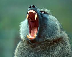 Baboon doing its werewolf impression