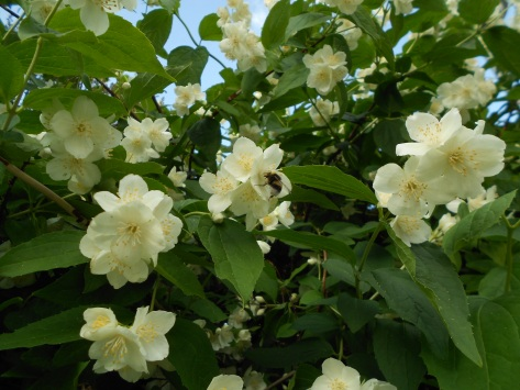 Here's a picture of a mock orange bush and a bumblebee. Just because.