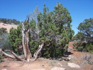 cedar-tree-500244_640